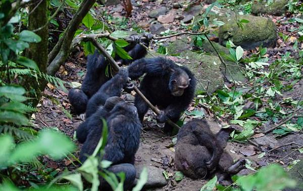 适者生存!镜头记录黑猩猩头领遭篡权被围攻
