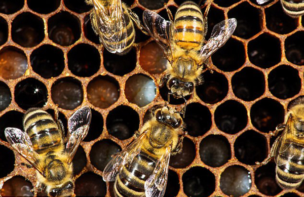 美国一摄影师记录蜜蜂出生后21天成长历程
