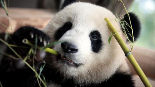 """旅法大熊猫""""欢欢""""产下双胞胎 其中一幼崽死亡"""