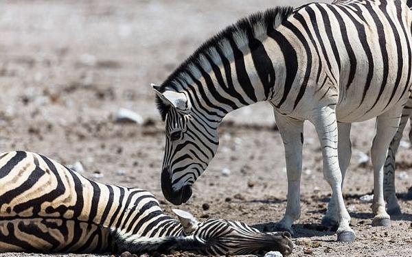 动容!非洲一斑马因分娩死亡 同伴试图将其唤醒