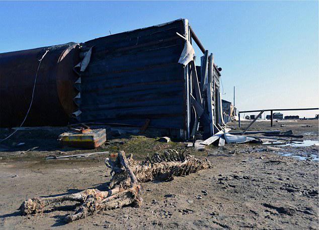 俄海岛惊现6具无头北极熊尸骨 疑遭偷猎者枪杀