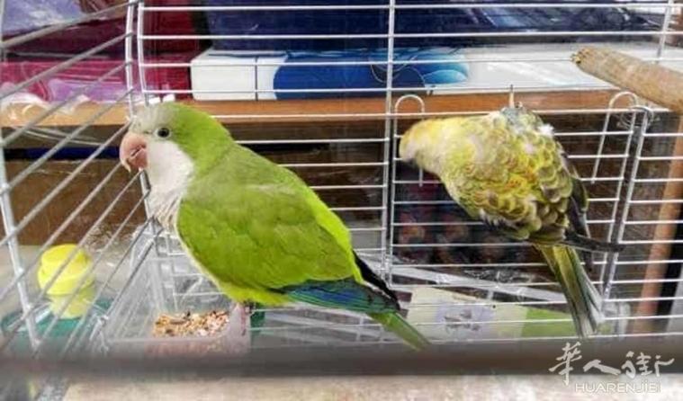 巴里市一华人店家非法拥有2只保护物种的鹦鹉 被控