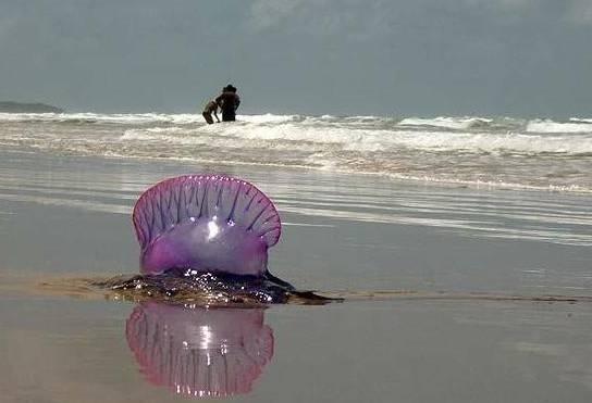 """华人去海滩要注意,看到这种""""塑料袋""""千万不要碰!"""