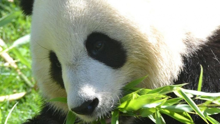 法国大熊猫怀孕 动物园高兴炸了