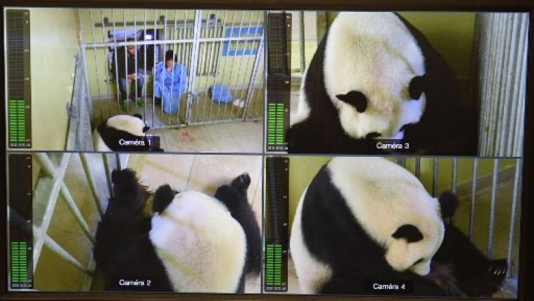 法国大熊猫欢欢产下双胞胎其中一只死亡