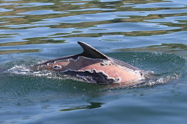 万幸!英海豚遭严重晒伤1年后恢复良好