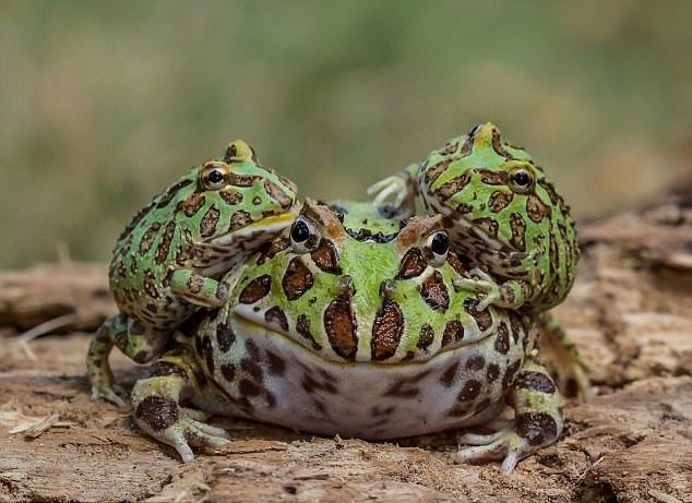 逗趣!印尼一青蛙家族大秀叠罗汉杂技