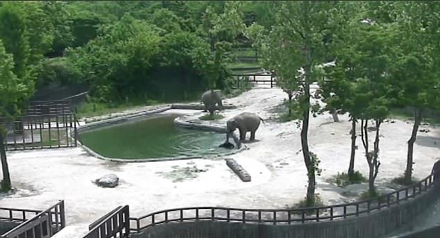 难以置信!成年大象默契合作成功救出落水小象