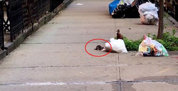 有趣!美国大力老鼠从垃圾袋中拖出披萨
