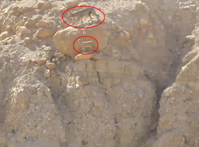 以色列公园饿狼悬崖紧追山羊终获猎物