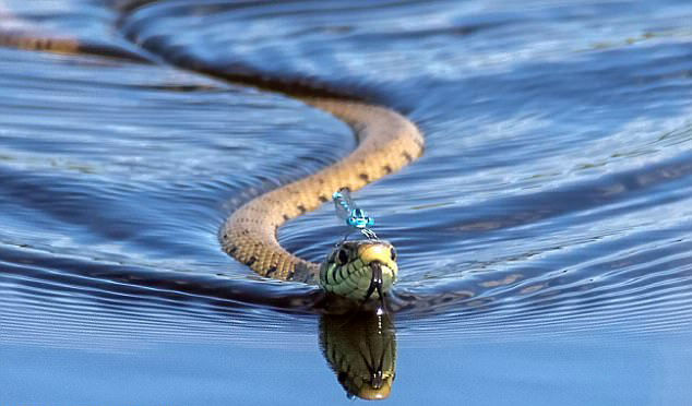 蜻蜓点蛇!国外网友抓拍史上最强搭便车