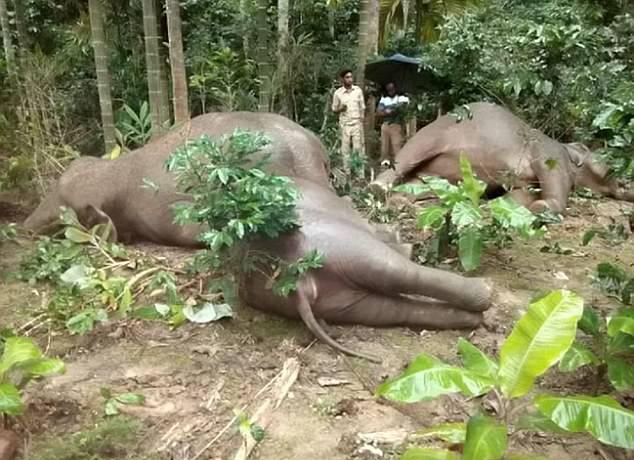 惨剧!印大象一家四口惨遭咖啡园高压线电死
