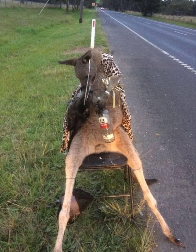 墨尔本一袋鼠被枪杀后遭侮辱 官方批凶手行为可怕