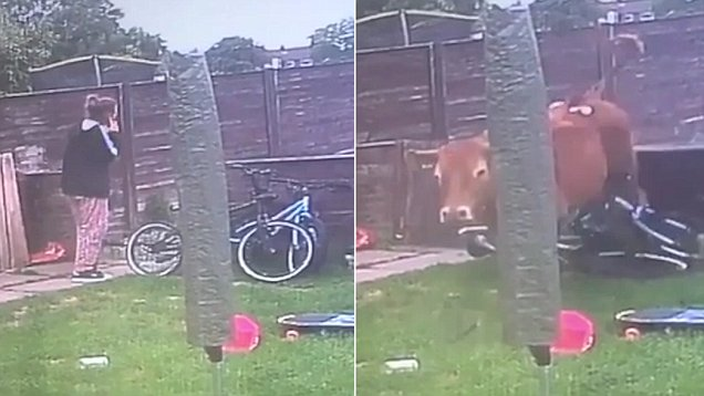 自家花园惊现愤怒公牛 英16岁女孩险遭攻击