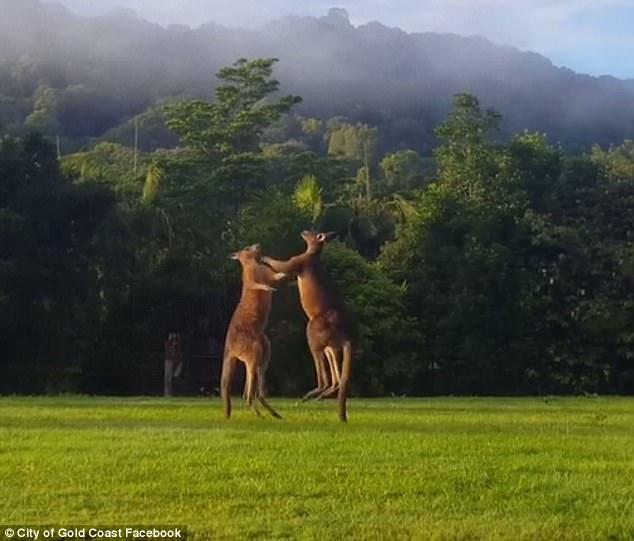 """澳大利亚两袋鼠草地上展开激烈""""拳击赛"""""""