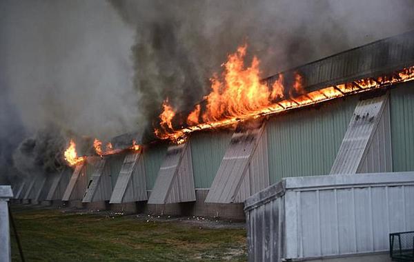 美养鸡场鸡舍遭大火席卷 逾十万蛋鸡被活活烧死
