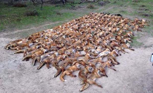 英国明星发布百只狐狸陈尸照引网友热议