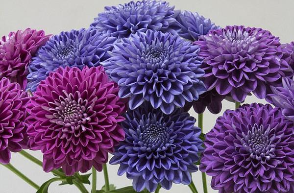 美!日科学家历时13年培育出全球首株蓝色菊花